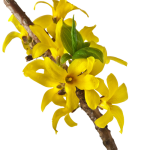 Forsythia Fruit